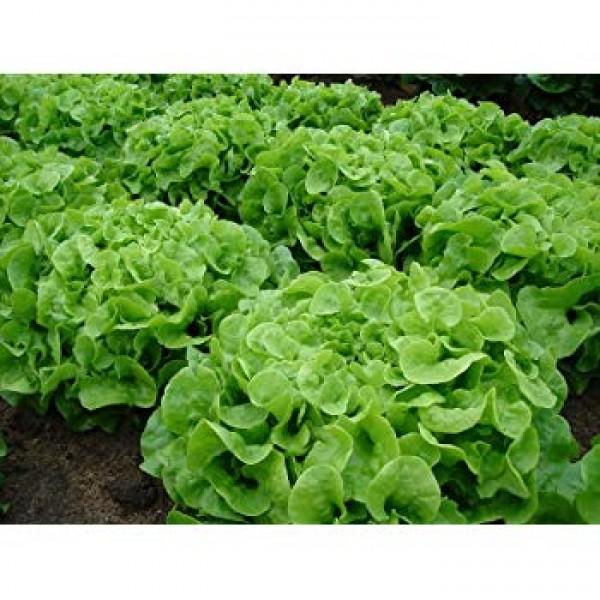 Oak Leaf Lettuce Seeds