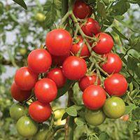 hydroponics cherry tomato seeds