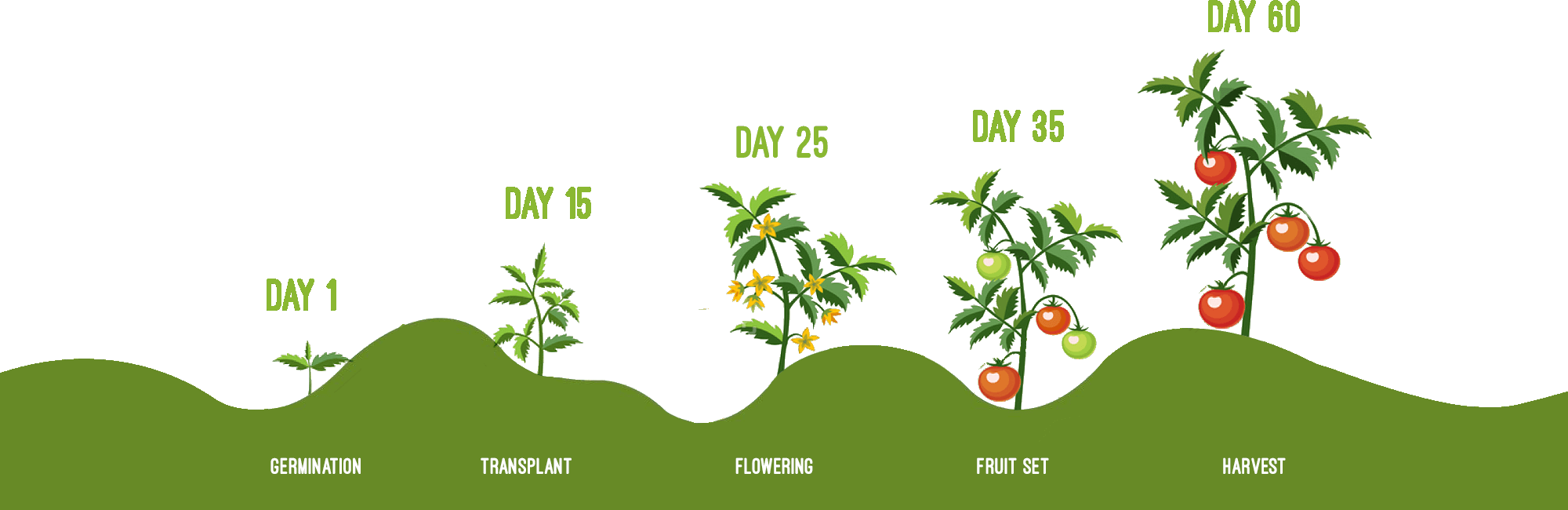 hydroponics crops growing time line