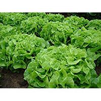 hydroponics lettuce seeds